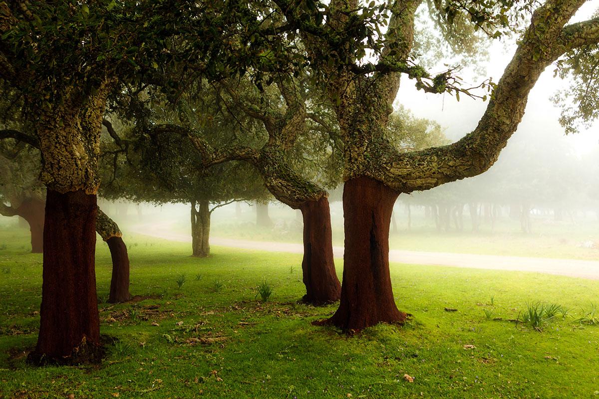コルクガシの森